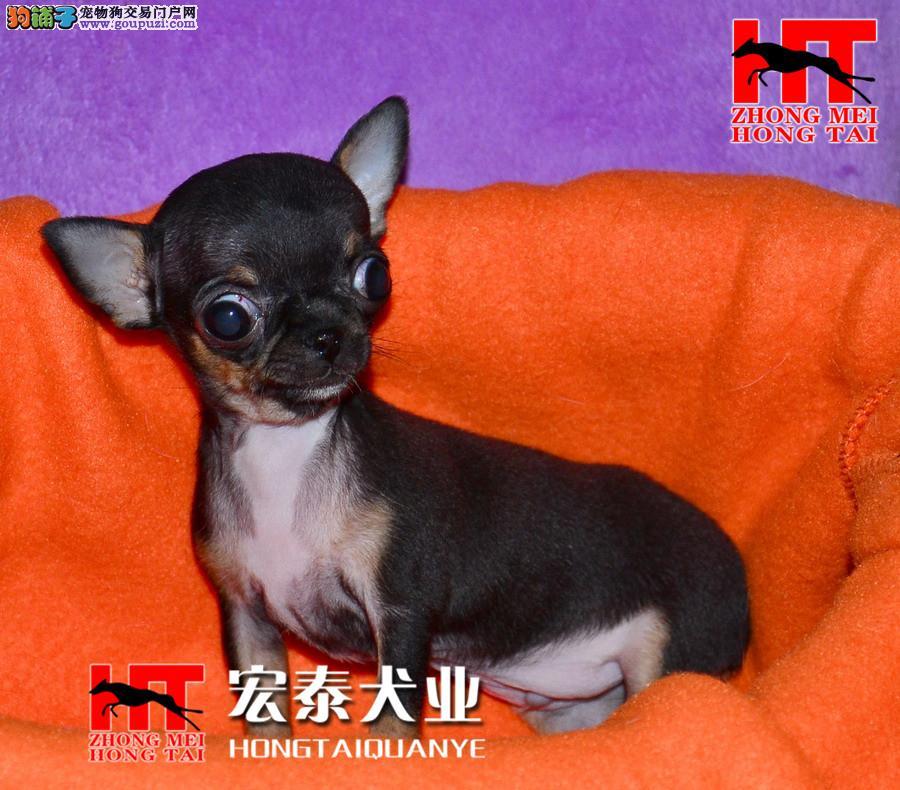 有坚韧的意志的狗狗 吉娃娃 北京中美宏泰犬业