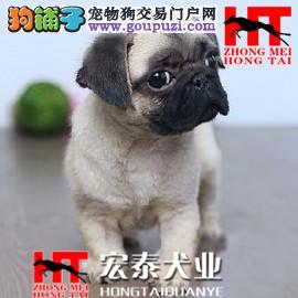 性情平和、快乐、活泼 带有忧愁表情的狗狗 巴哥。