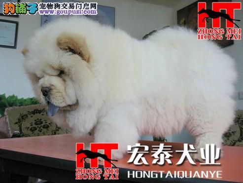 实物拍摄精品松狮幼犬 保纯种健康 签终身质保协议