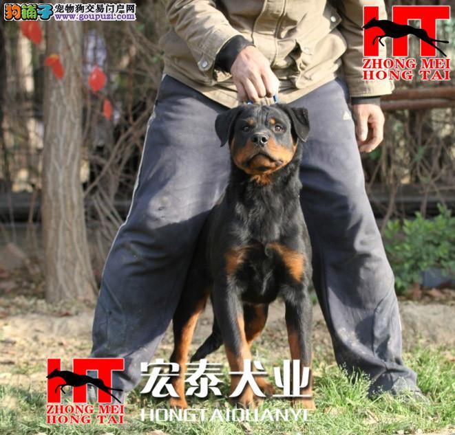 中美宏泰犬业出售动作迅猛,气势强悍的狗狗 罗威纳