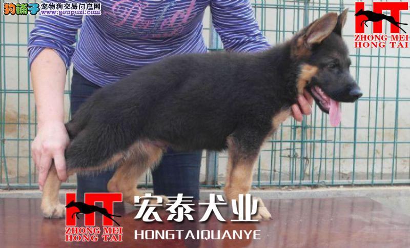 FCI认证 德国牧羊犬专业养殖基地 高品质幼犬待售1