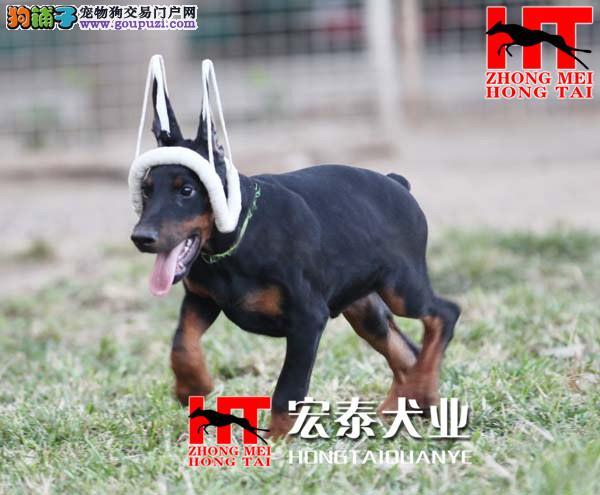 fci 认证的国际联保中美宏泰犬业出售杜宾幼犬。