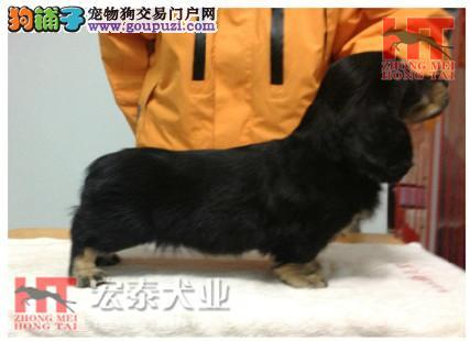 极品长毛腊肠犬 经典腊肠犬 高品质血统
