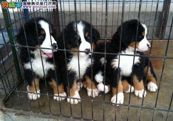 南充体型高大性格温顺 忠实伴侣犬伯恩山幼犬出售