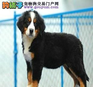 广东深圳看伯恩山犬 请来瑞士伯恩山犬基地纯种健康