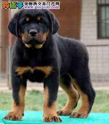 上海出售罗威纳专业繁殖健康纯种罗威纳幼犬健康纯种