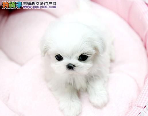 天津超级好看的马尔济斯犬出售 纯种保健康 签订协议