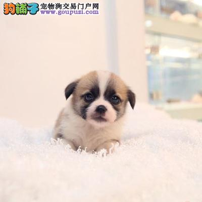 西宁市出售柯基犬 自家繁殖 纯种健康 签协议 价格优惠