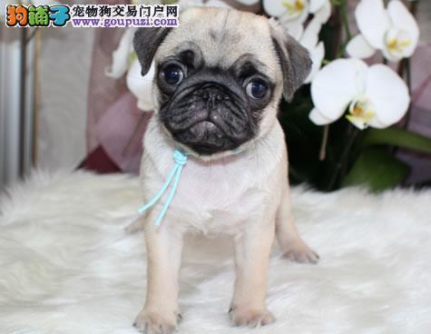 武汉实体店出售精品巴哥犬保健康购犬可签协议