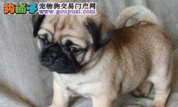 乌鲁木齐直销囧脸巴哥犬身体健康诚信经营售后保障