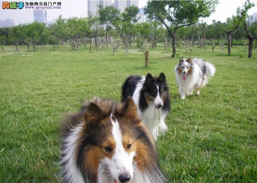 喜乐蒂幼犬 喜乐蒂成犬 喜乐蒂牧羊犬 牧羊犬 健康