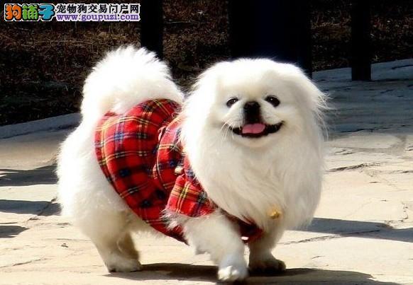 专业正规犬舍热卖优秀京巴签订终身纯种健康协议