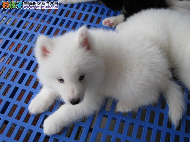 湘潭3个月的银狐犬1300元公母均有 健康活泼签合同