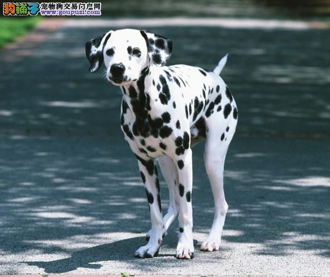 CKU认证狗场直销纯种健康斑点大麦町犬质保三年2