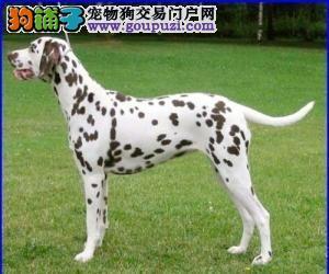 纯正血统狗赛级犬品相忠实的伴侣犬 大麦町/斑点狗/2