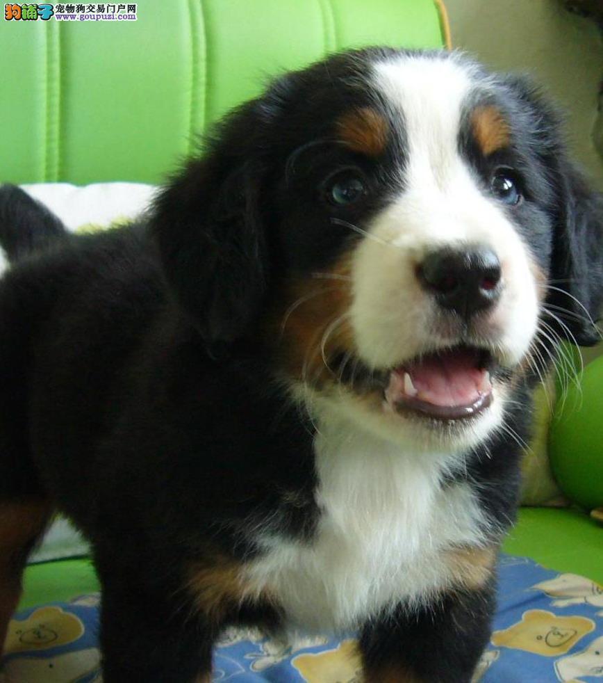 泸州纯种伯恩山犬多少钱一只伯恩山犬出售三色犬伯恩山