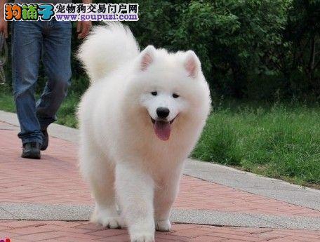 哈尔滨实体犬舍热销顶级优秀品质萨摩耶 保证质量优秀