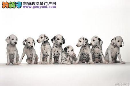 南京纯种斑点狗低价转让,找寻新家