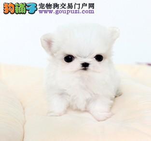 自家养殖纯种马尔济斯低价出售微信选狗直接视频