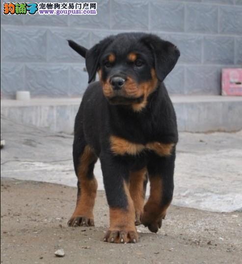 拉萨德系罗威纳幼犬高大威猛四肢粗壮品相好疫苗已做