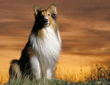 呼和浩特特价苏牧犬健康有保障苏格兰牧羊犬签协议