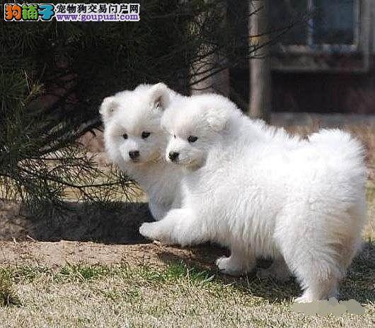 雪白无水锈的石家庄萨摩耶幼犬找新家 保障品质血统