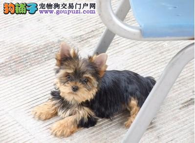 深圳买约克夏的地方纯种约克夏的价格约克夏照片