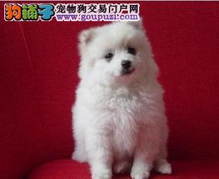 AKC FCI CKU三方合作伙伴 直销纯种日本尖嘴 银狐犬