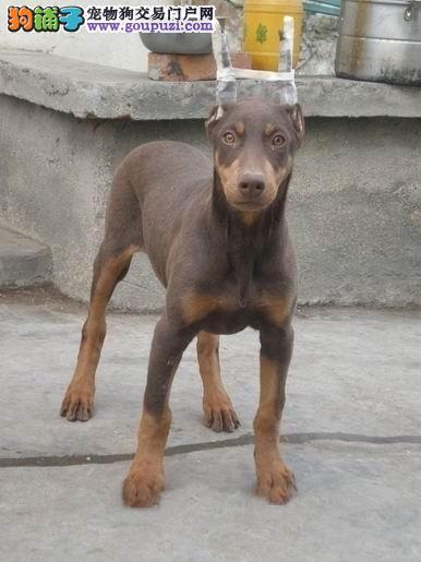 北京出售杜宾犬纯正血统疫苗驱虫已做签协议可挑选