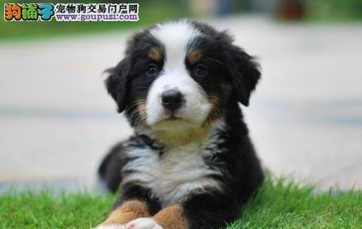 朝阳伯恩山犬价格真正纯种繁殖疫苗驱虫齐全放心购买