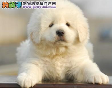 专业基地繁殖纯种/保质大白熊幼犬出售啦、