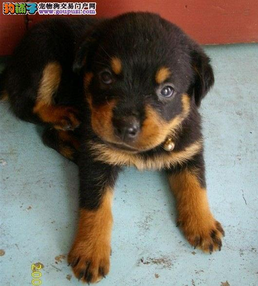 警犬大头罗威纳对外配种出售幼犬3