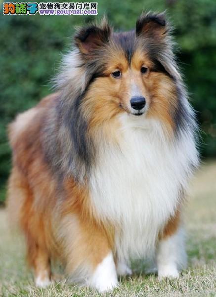 纯种喜乐蒂幼犬,疫苗齐全包养活,提供养狗指导