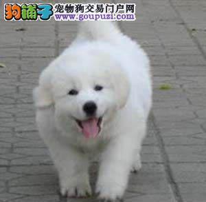 北京专业繁殖基地出售大骨量赛级白熊犬三针公母全质保