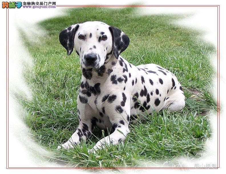 CKU认证京诚犬业冠赛级优质达尔马提亚=斑点=大麦