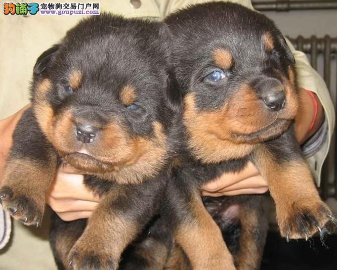 无锡纯种罗威纳幼犬正规犬舍繁殖赛级品质 疫苗齐全