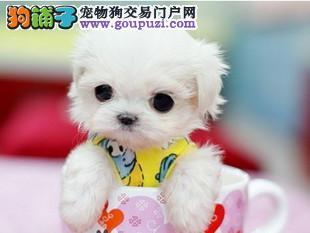 出售纯种日系袖珍犬 茶杯体口袋犬 超可爱袖珍宝宝出售2