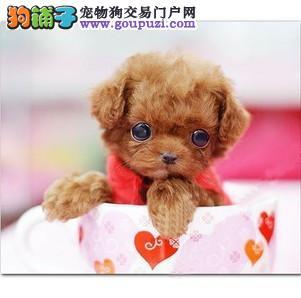 贵阳实体店出售精品茶杯犬保健康微信视频看狗