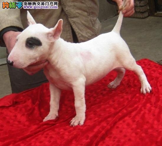 个性十足,纯种牛头梗宝宝4