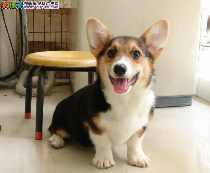 CKU犬舍认证无锡出售纯种柯基欢迎实地挑选
