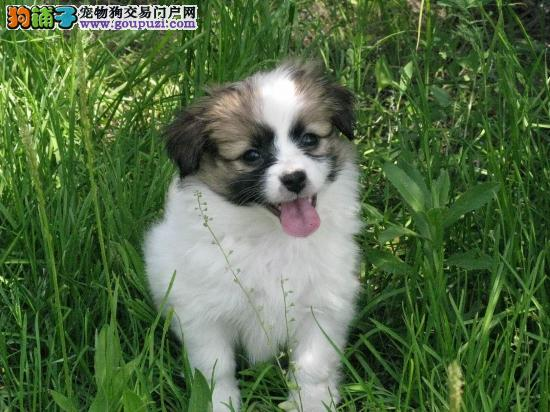 呼和浩特市售优质蝴蝶犬 温顺蝶耳犬 巴比伦犬可见父母