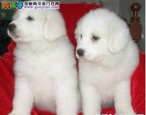 大白熊 赛级大头长毛大白熊幼犬,保纯保健康图片
