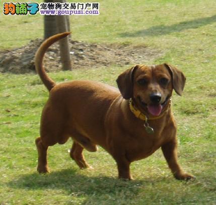 广东养殖狗场出售纯种腊肠狗幼犬