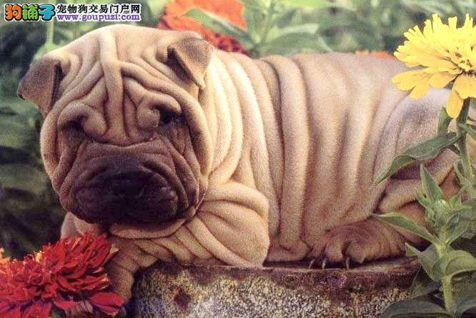 完美品相血统纯正武汉沙皮狗出售微信咨询看狗狗照片