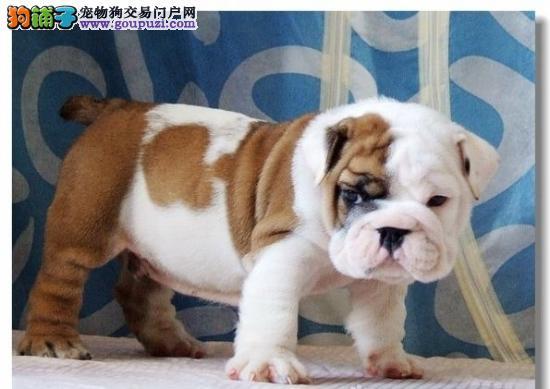 健康纯种优质斗牛犬特价出售 上海地区有实体店毛色好