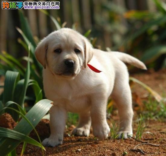 两个多月的拉布拉多犬应吃多少狗粮