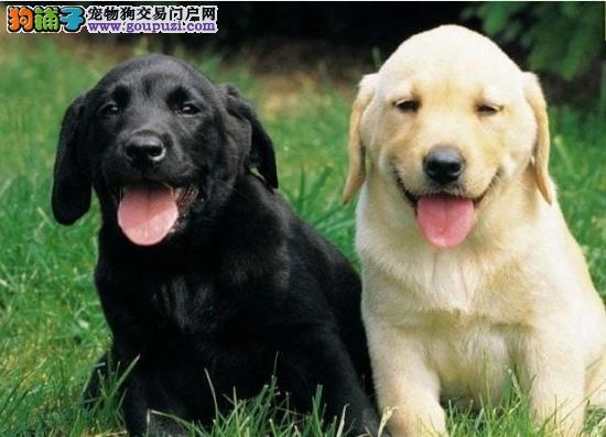 白银市售拉布拉多幼犬 导盲犬神犬小七防疫全多只待选