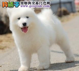 专业繁殖贵阳萨摩耶幼犬已做疫苗身体健康1