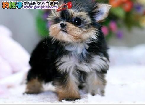 北京市出售精品约克夏幼犬 保健康保纯种图片