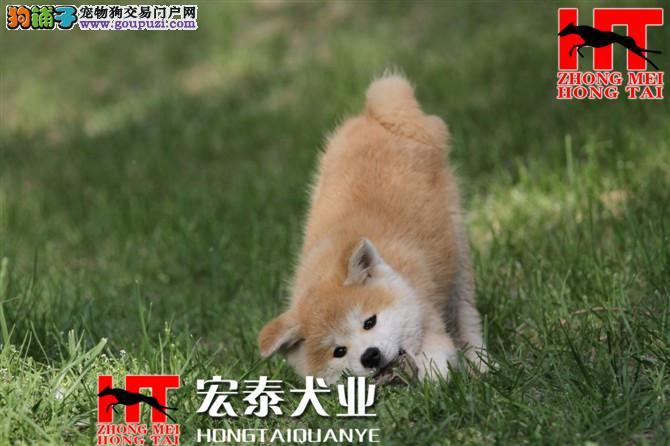 中美宏泰犬业FCI认证国际秋田犬 绝对信誉。